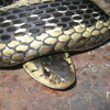 Common Garter Snake Jigsaw
